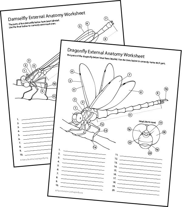 Worksheets Handouts Arizona Dragonflies