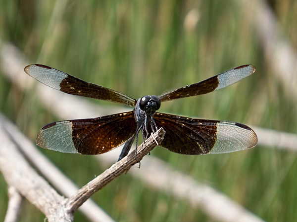 Black winged dragonfly - photo#27