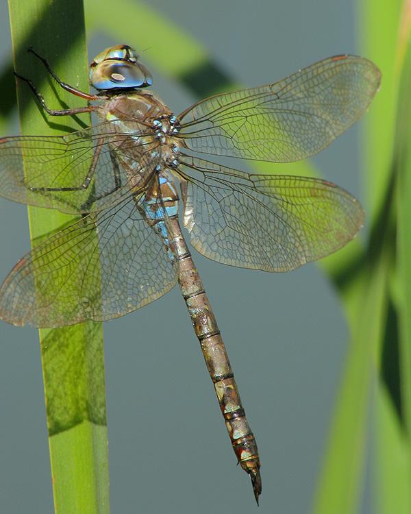 Female blue eyed darner