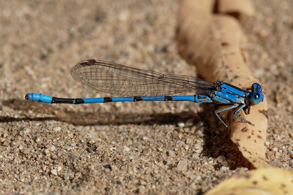 California Dancer | Arizona Dragonflies