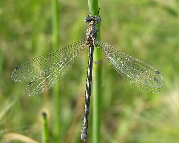 Emerald Spreadwing Arizona Dragonflies
