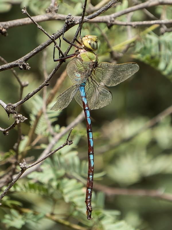 Giant dragonfly - photo#28