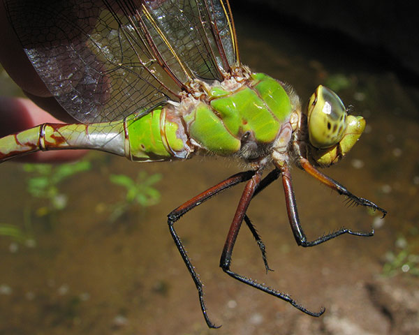 Giant dragonfly - photo#15