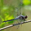 : Bar-winged Skimmer