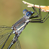 : Great Spreadwing