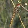 : Spot-winged Glider