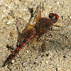: Red Rock Skimmer