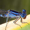 : Blue-ringed Dancer