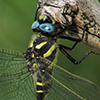 : Apache Spiketail
