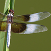 : Widow Skimmer