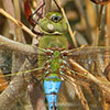 : Common Green Darner