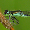 : Black-fronted Forktail