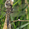 : Four-spotted Skimmer