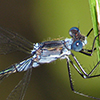 : Northern Spreadwing