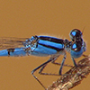 : Familiar Bluet