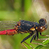 : Western Red Damsel