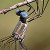: California Spreadwing