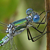 : Emerald Spreadwing