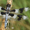 : Eight-spotted Skimmer