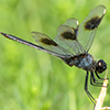 : Four-spotted Pennant