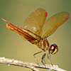 : Slough Amberwing