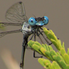 : Chalky Spreadwing