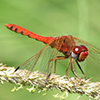 : Spot-winged Meadowhawk