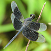 : Black-winged Dragonlet