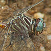 : Narrow-striped Forceptail