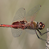 : Red Saddlebags