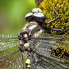 : Pacific Spiketail