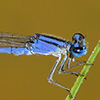 : Claw-tipped Bluet