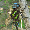 : Turquoise-tipped Darner