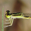 : Citrine Forktail