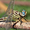 : Russet-tipped Clubtail