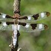 : Twelve-spotted Skimmer