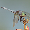 : Blue Dasher