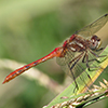 : Striped Meadowhawk