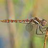 : Variegated Meadowhawk