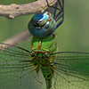 : Blue-faced Darner