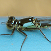: Pacific Forktail