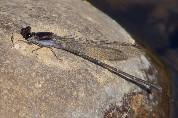 News: Tezpi Dancer, <em>Argia tezpi</em>, in Pinal Co.: New late flying date for species in Arizona