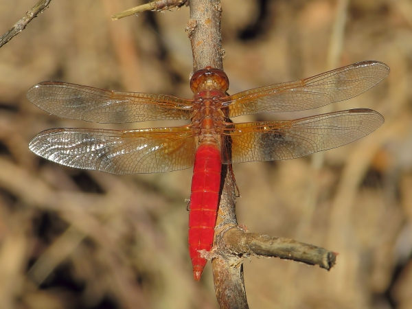 News: Neon Skimmer, <em>Libellula croceipennis</em>, in Maricopa Co.: New late flying date for the state