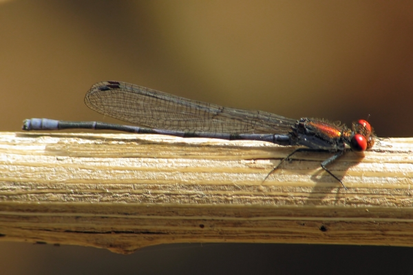 News: Fiery-eyed Dancer, <em>Argia oenea</em>, in Maricopa Co.: New late flying date for species in Arizona