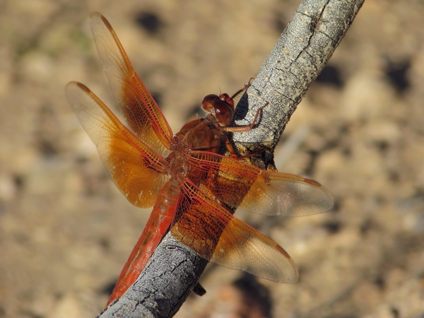 News: Flame Skimmer, <em>Libellula saturata</em>, in Maricopa Co.: New late flying date for species in Arizona