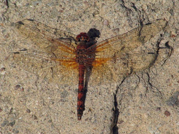 News: Red Rock Skimmer, <em>Paltothemis lineatipes</em>, in Maricopa Co.: New late flying date for Arizona
