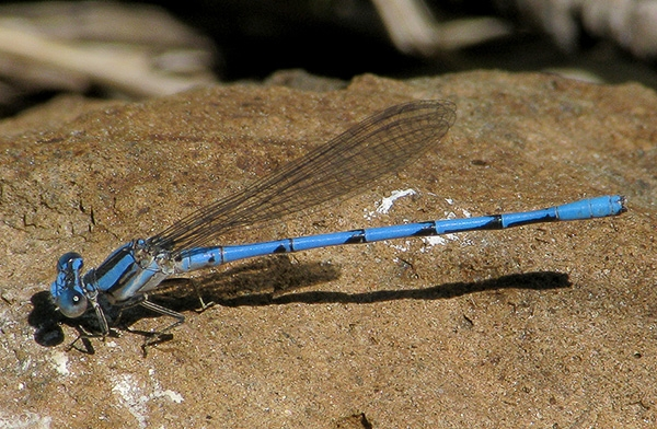 News: Unusual Aztec Dancer, <em>Argia nahuana</em>, phenotype at Bog Tank, Apache
