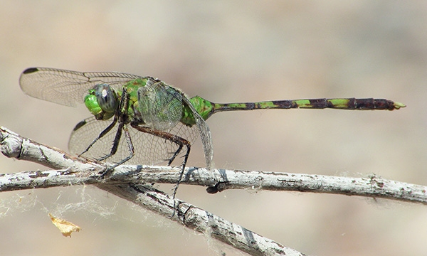 News: Great Pondhawk, <em>Erythemis vesiculosa</em>, and Striped Saddlebags, <em>Tramea darwini</em>, at Rio Salado, Maricopa