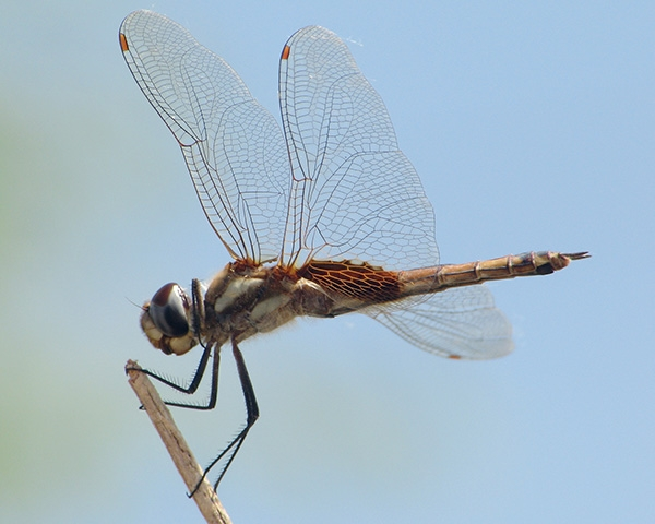 News: Great Pondhawk, <em>Erythemis vesiculosa</em>, and Striped Saddlebags, <em>Tramea calverti</em>, at Rio Salado, Maricopa