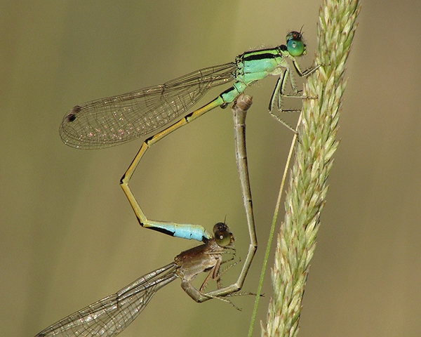 News: Heterospecific copulating pair of forktails (<em>Ischnura</em>)